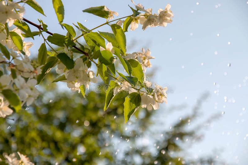 Jasmine branch against, the blue sky, reaching for the sun. Spring stock photography