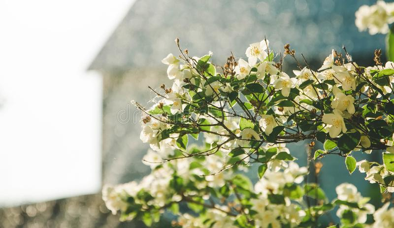 Jasmine branch against, the blue sky, reaching for the sun. Color stock photography