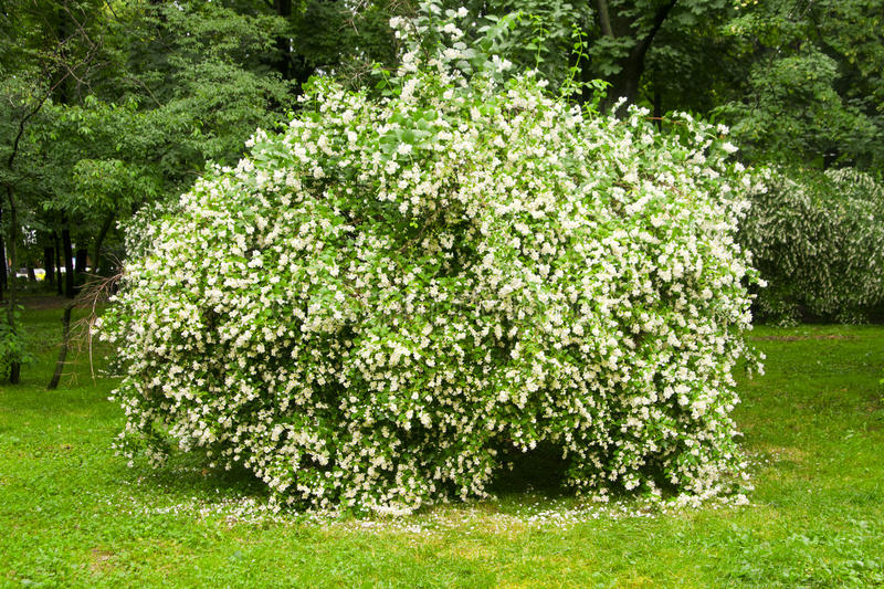 Jasmine bush stock images