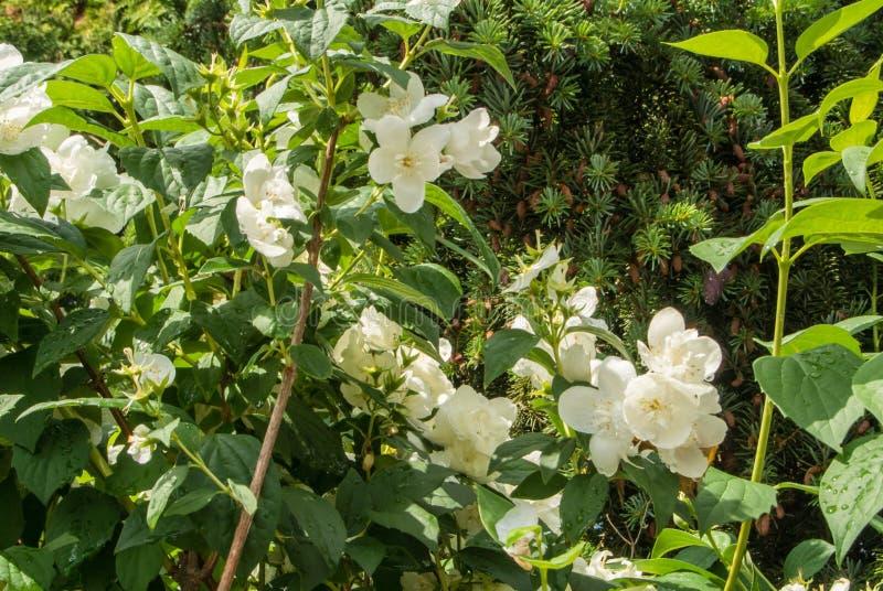Jasmine bush with plenty of white fresh flowers in the garden after download jasmine bush with plenty of white fresh flowers in the garden after the rain stock mightylinksfo