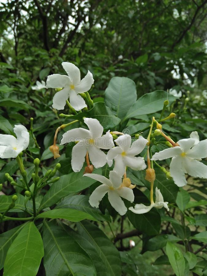 Jasmine. Can be either deciduous & x28;leaves falling in autumn& x29; or evergreen & x28;green all year round& x29;, and can be erect, spreading, or royalty free stock photo