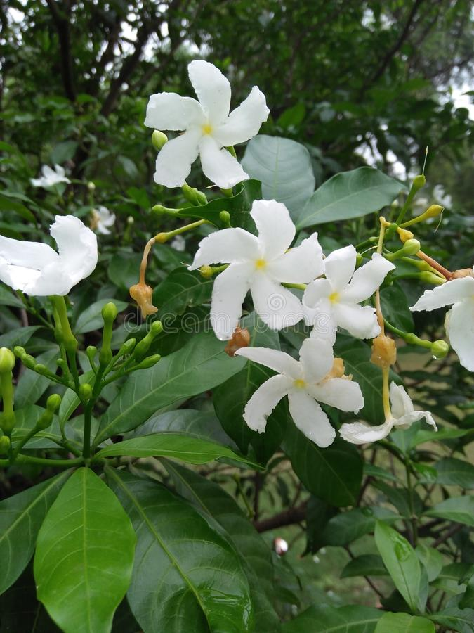 Jasmine. Can be either deciduous & x28;leaves falling in autumn& x29; or evergreen & x28;green all year round& x29;, and can be erect, spreading, or royalty free stock images