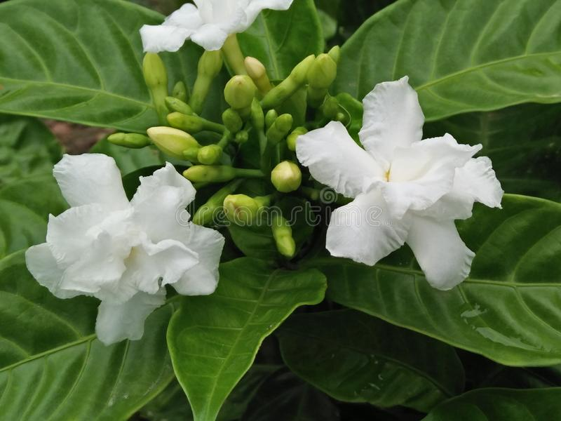 Jasmine. Can be either deciduous & x28;leaves falling in autumn& x29; or evergreen & x28;green all year round& x29;, and can be erect, spreading, or royalty free stock photography
