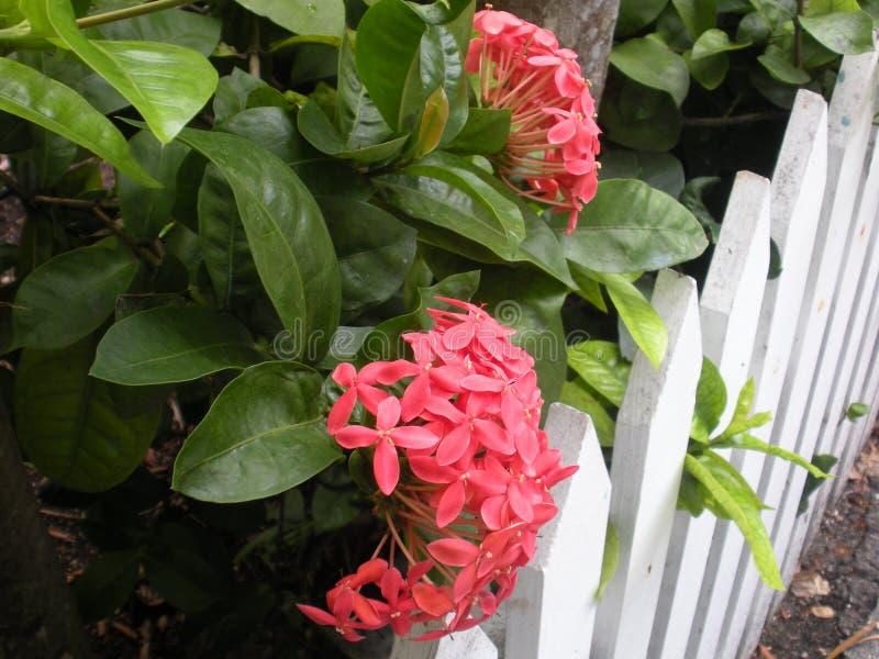 Jasmine des Antilles photographie stock
