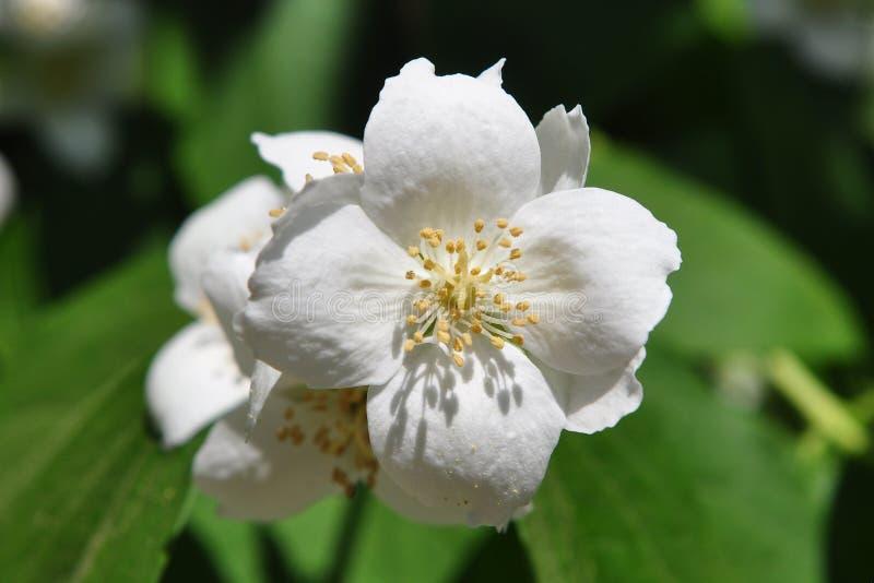 Jasmine Flower imagens de stock royalty free