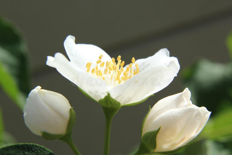 Jasmine Flower fotografia stock libera da diritti