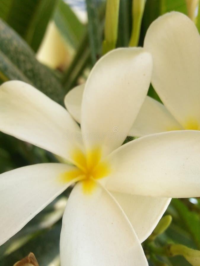 Jasmine Flower photos libres de droits