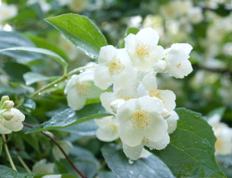 Jasmine flower. With dew drops stock photos