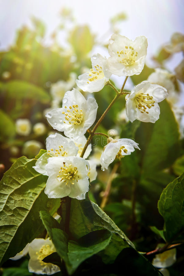 Jasmine Flower royaltyfria foton