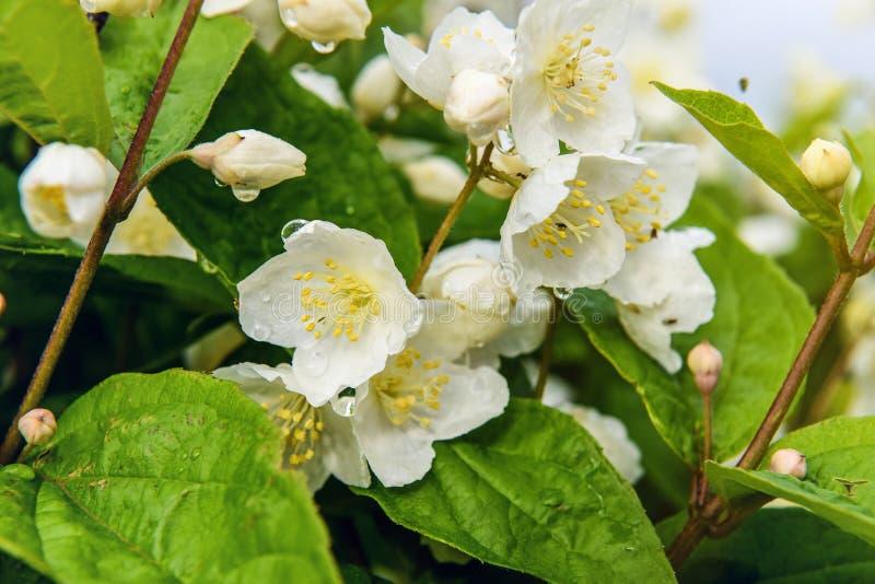 Jasmine Flower lizenzfreies stockfoto