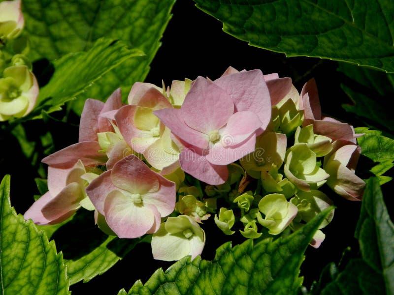 Jasmine Flower royalty-vrije stock foto