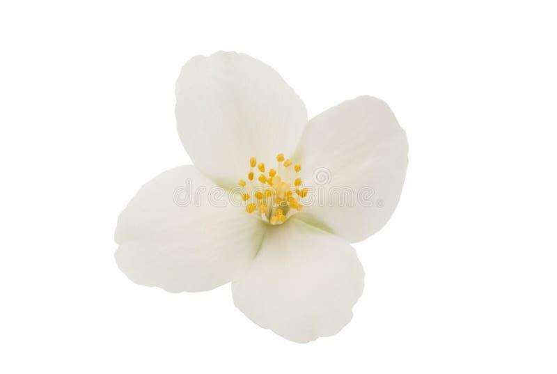Jasmine Flower fotografie stock
