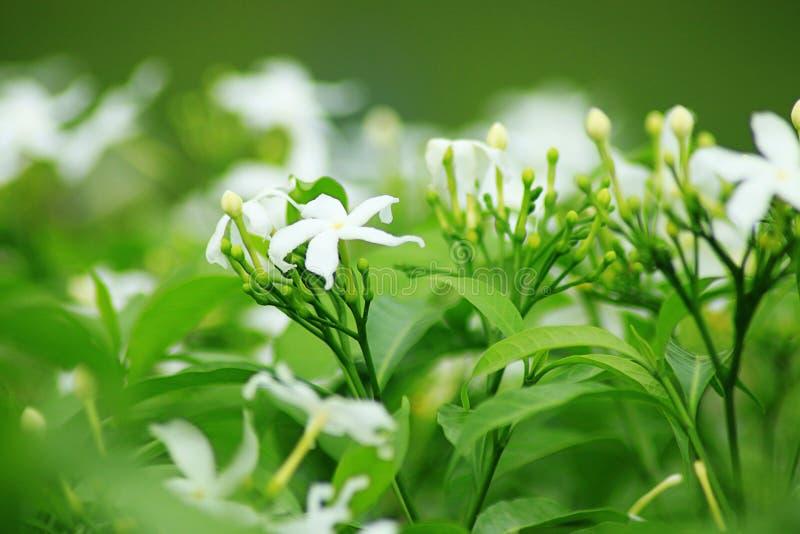 Jasmine Flower royalty-vrije stock foto's