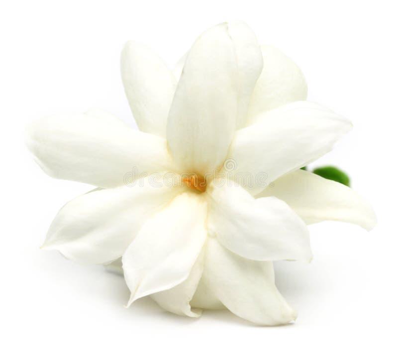 Jasmine flower. Close up of Jasmine flower over white background stock images