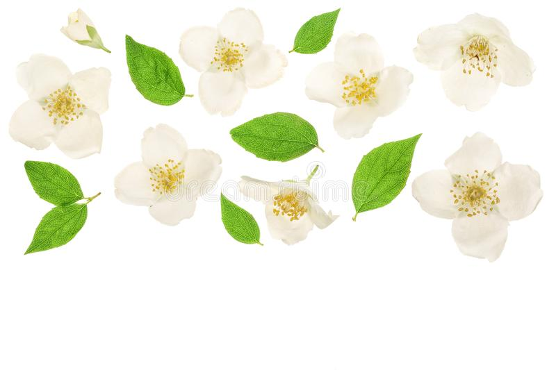 Jasmine flower decorated with green leaves isolated on white background closeup with copy space for your text royalty free stock photos