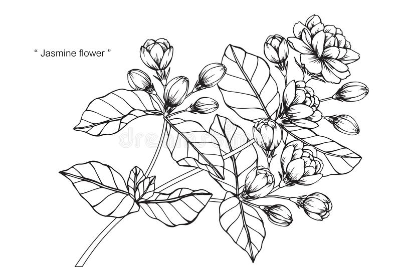 Line Drawing Jasmine Flower : Jasmine flower drawing and sketch stock illustration