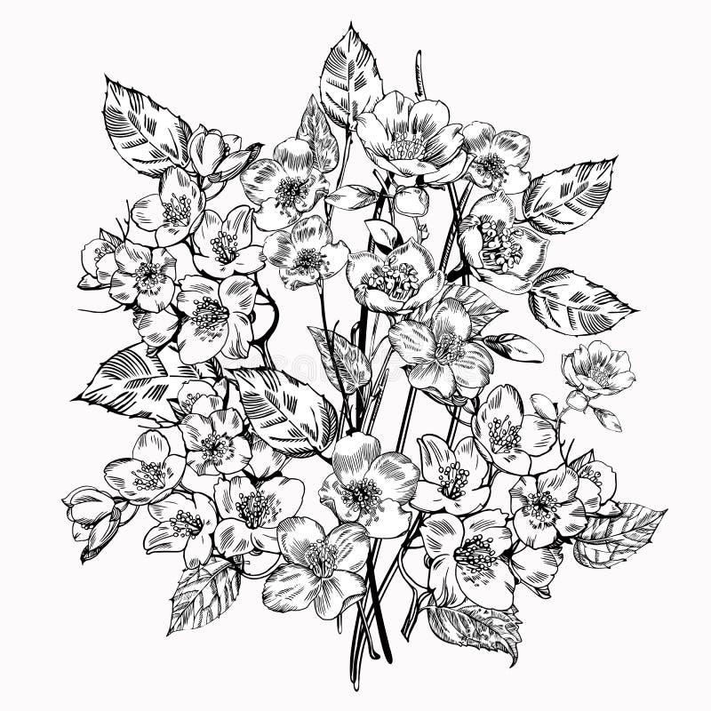 Jasmine Flower Eleganta blommor för tappning Svartvit vektorillustration bostonian royaltyfri illustrationer