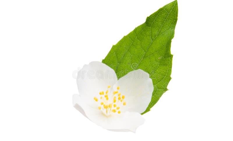 Jasmine Flower fotografia stock
