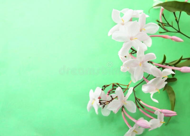 Jasmine Flower. On green background stock photos