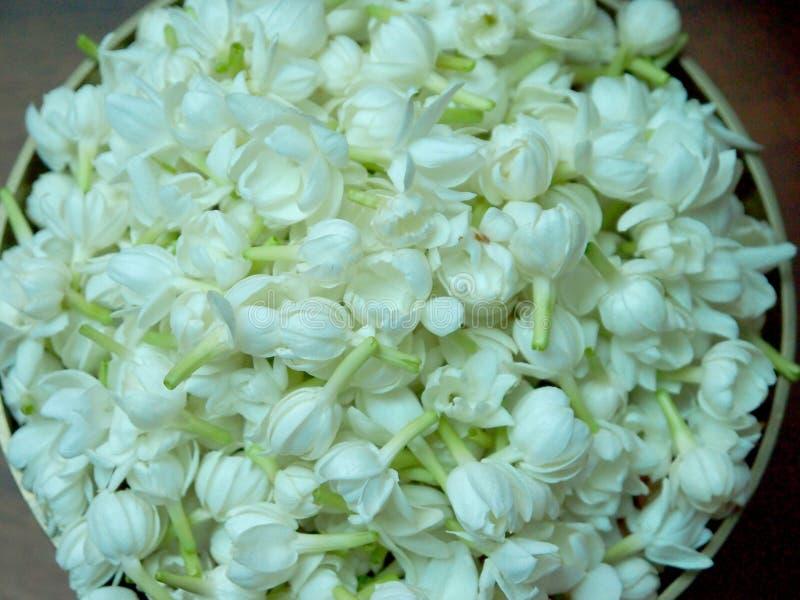 Jasmine stock photos