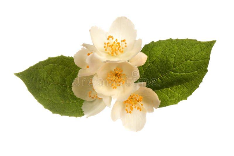 Jasmine flower. Isolated on white background royalty free stock image