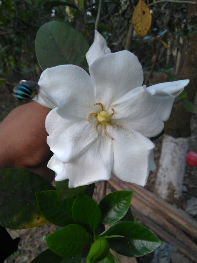 Jasmine flower. Indian bengle whiteflower stock images