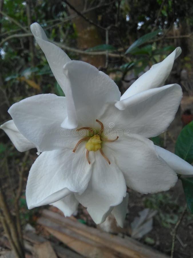 Jasmine flower. Indian bengle whiteflower stock photography