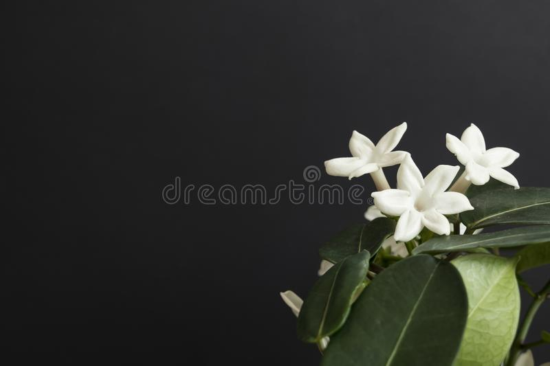Jasmine flower plant with green leaf on black background. Beautiful stock images