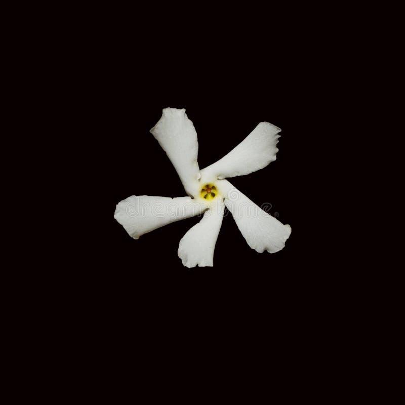 Jasmine Flower sul nero fotografia stock libera da diritti