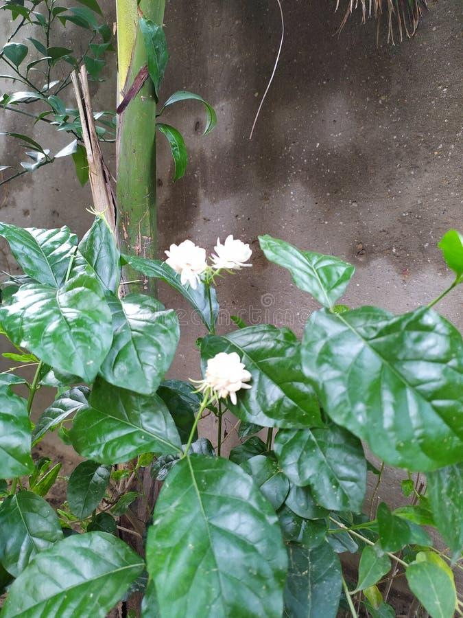 Jasmine Flower uitspreidende schoonheid en goede geur allen rond royalty-vrije stock foto