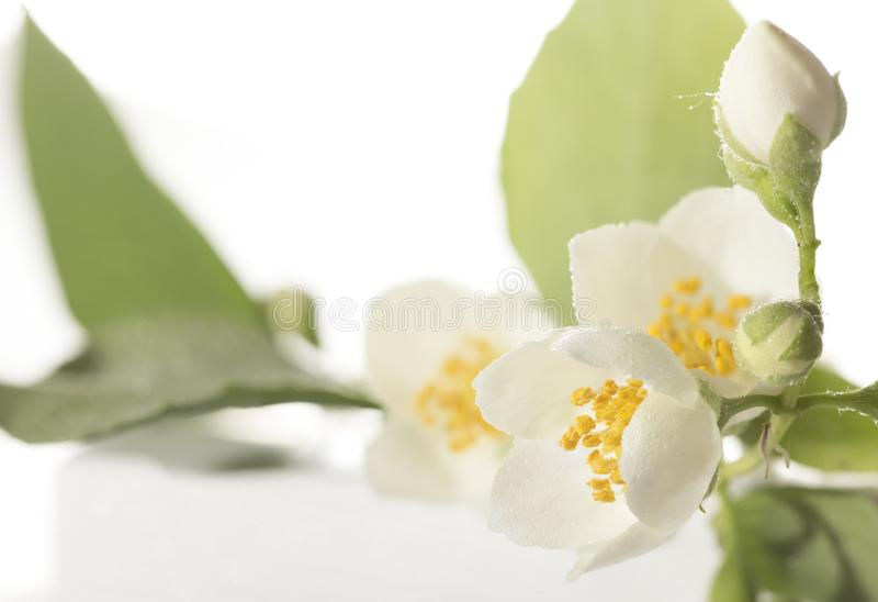 Jasmine flower on the white background,select focus royalty free stock photo