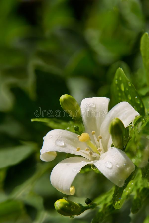 Free Jasmine Flower With Spring Dew Drops. Stock Photography - 103717972