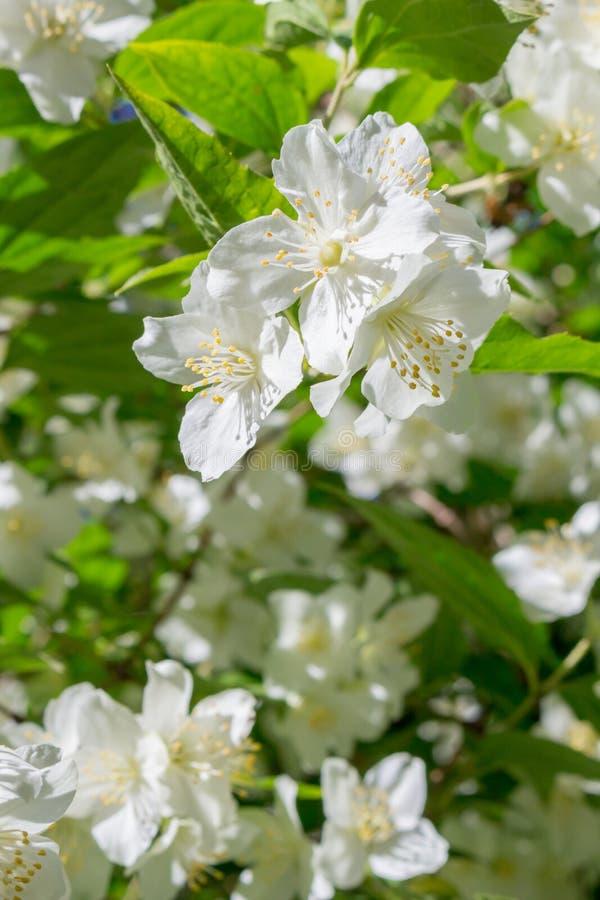 Jasmine flowering in June royalty free stock photos