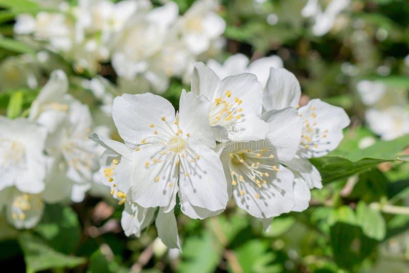 Jasmine flowering in June stock photography