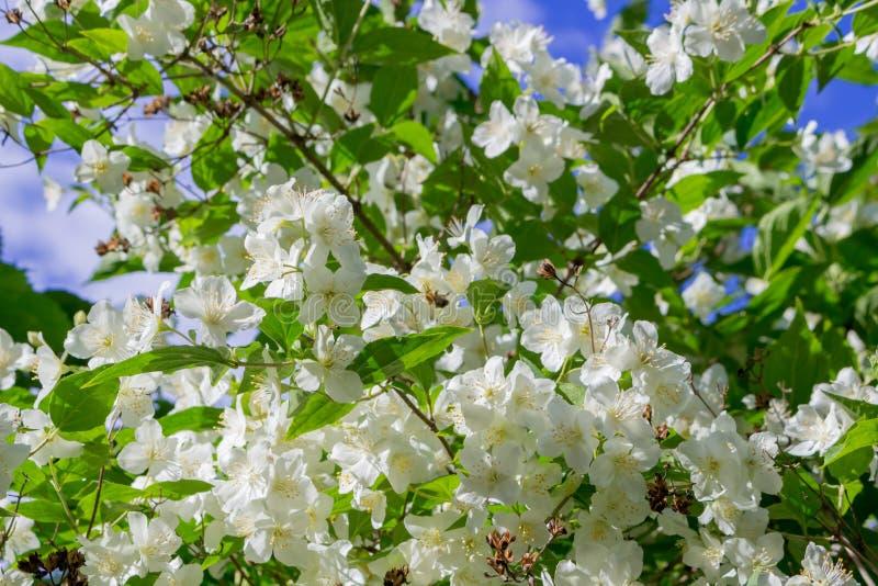 Jasmine flowering in June royalty free stock image