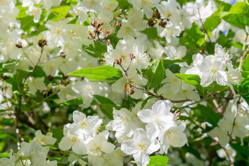Jasmine flowering in June royalty free stock photo