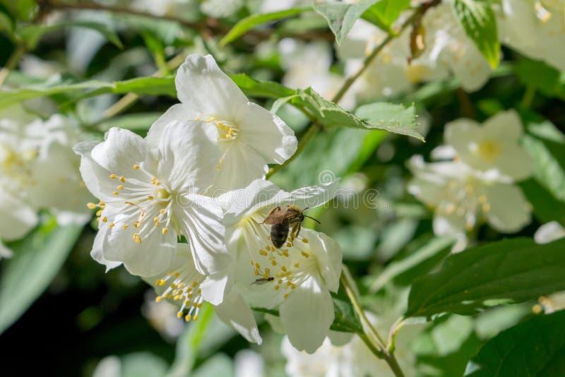 Jasmine flowering in June stock images