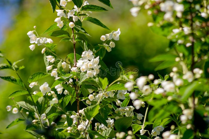 Jasmine flowering in late May. Close royalty free stock photo