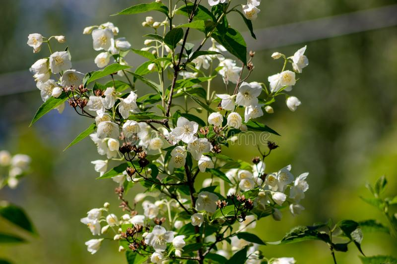 Jasmine flowering in late May. Close stock photos