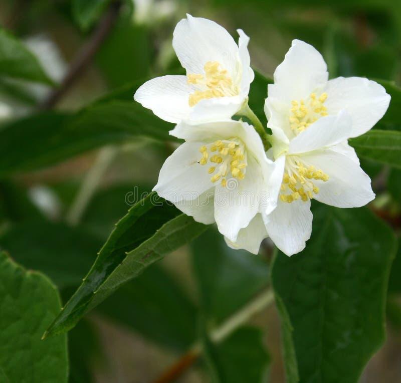 Jasmine flowers in bloom royalty free stock images