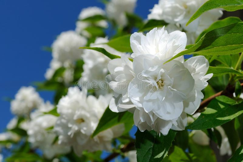 Jasmine Flowers branco bonito no fundo do céu azul fotos de stock
