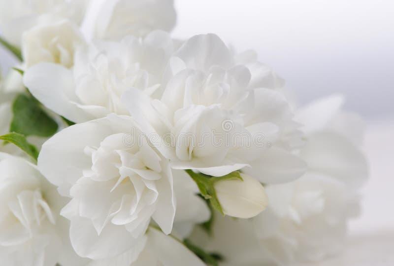 Jasmine Flowers Close-Up branco com espaço da cópia imagem de stock royalty free