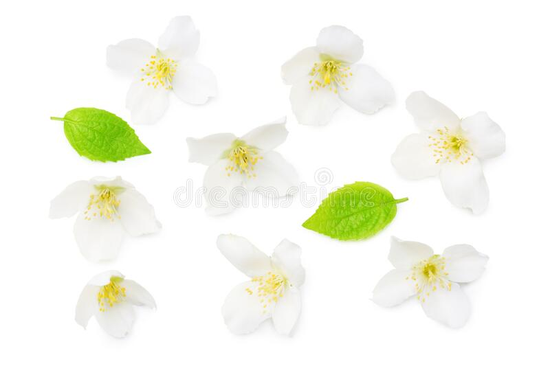 Jasmine flowers isolated on white background. top view royalty free stock image