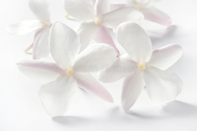 Jasmine flowers over white background stock images