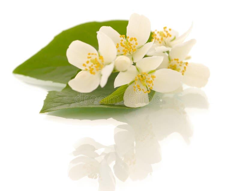 Jasmine flowers. Shallow DOF royalty free stock photos