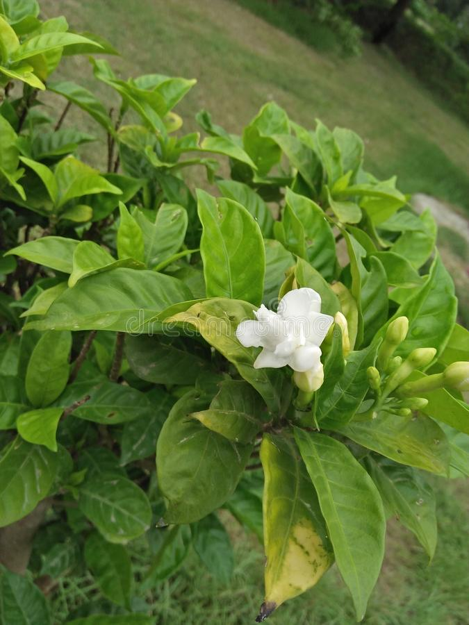 Jasmine. Can be either deciduous & x28;leaves falling in autumn& x29; or evergreen & x28;green all year round& x29;, and can be erect, spreading, or stock images