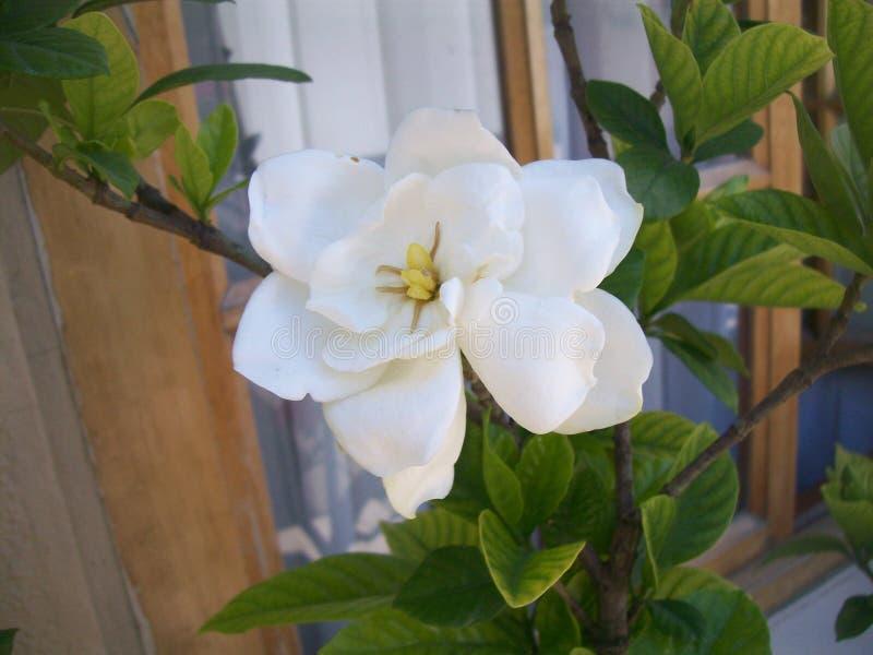 Jasmine stock image