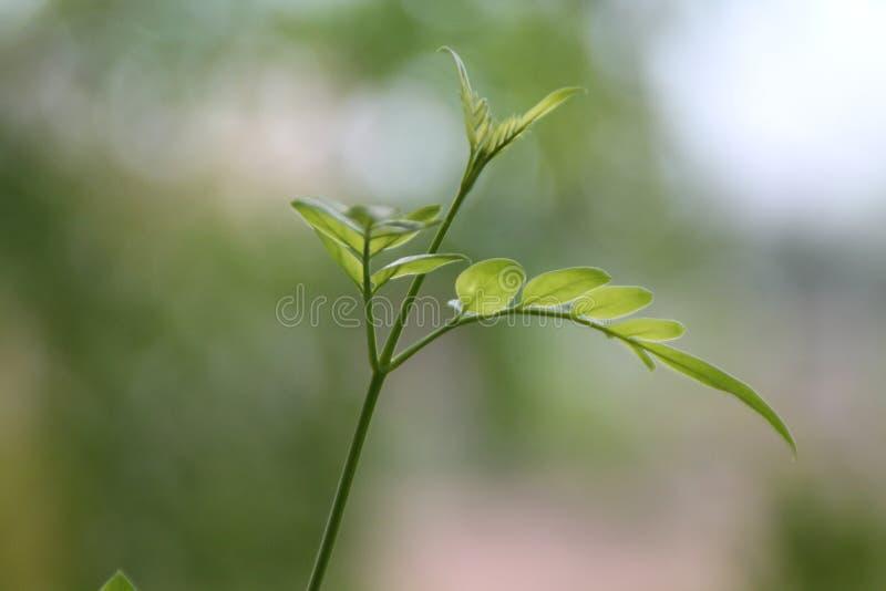 Jasmine Leaf. Pleasent Jasmine leaf in the morning royalty free stock images