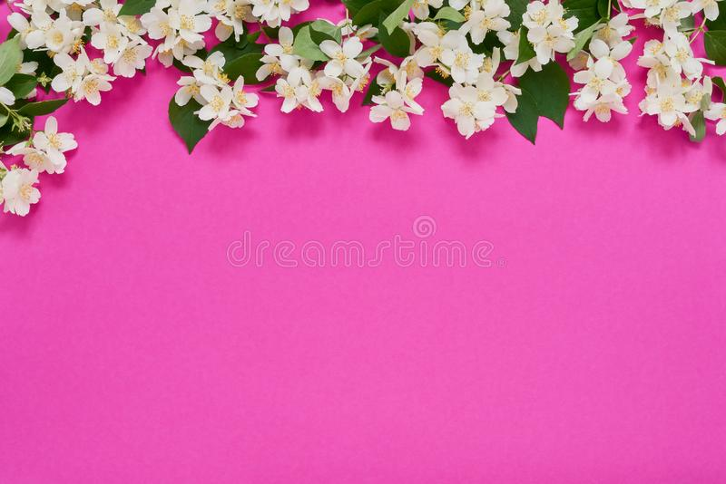 Jasmine, Philadelphus or mock-orange flowers border on bright pink background. Copy space, top view. Summer background stock photography