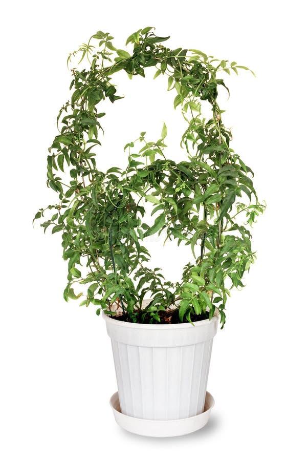Download Jasmine polyanthous stock photo. Image of decorative - 36712208